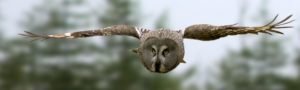 great-gray-owl-flying-banner